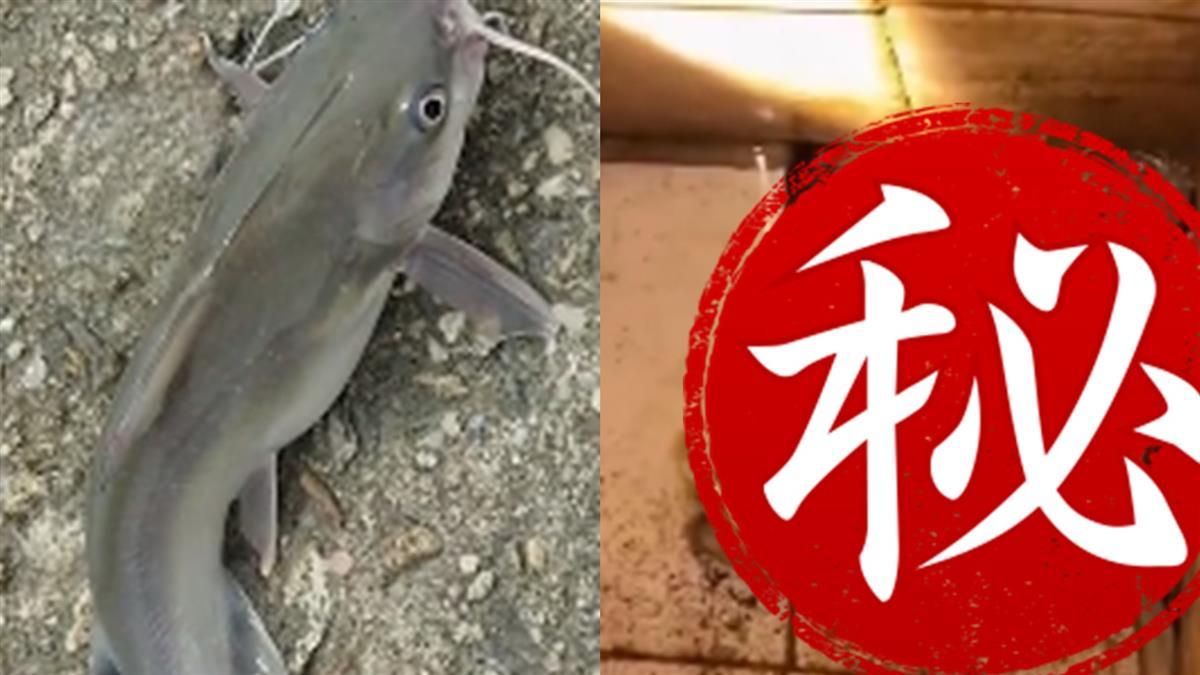 抓回家11個月沒餵食 鯰魚餓到「剩一顆頭」變蝌蚪