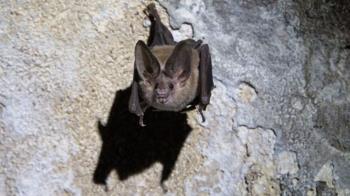 美國研究發現吸血蝙蝠生病時會「保持社交距離」