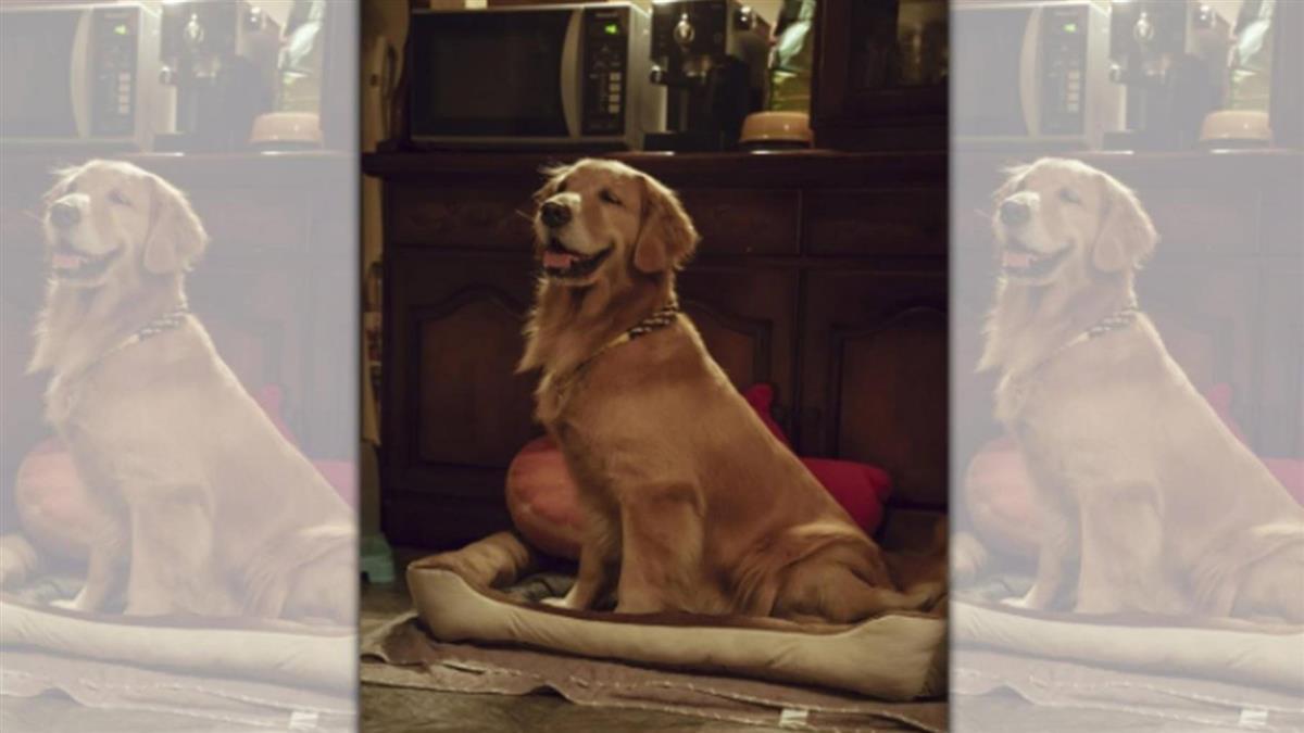 黃金獵犬學不會動作 狗明星前輩演給牠看秒成功