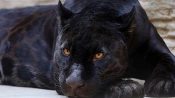 付4000和黑豹互動!他開心進獸籠 下秒頭皮、右耳慘被撕裂