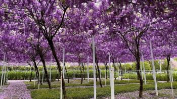 連年虧損!全台最大「紫藤花園」將歇業 最後開放時間曝光
