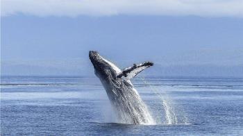 平靜海面突冒座頭鯨 2划船女遭「一口吞」...驚悚畫面曝