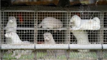 新冠疫情:丹麥發現變異病毒可能致疫苗失效,上千萬養殖水貂遭撲殺