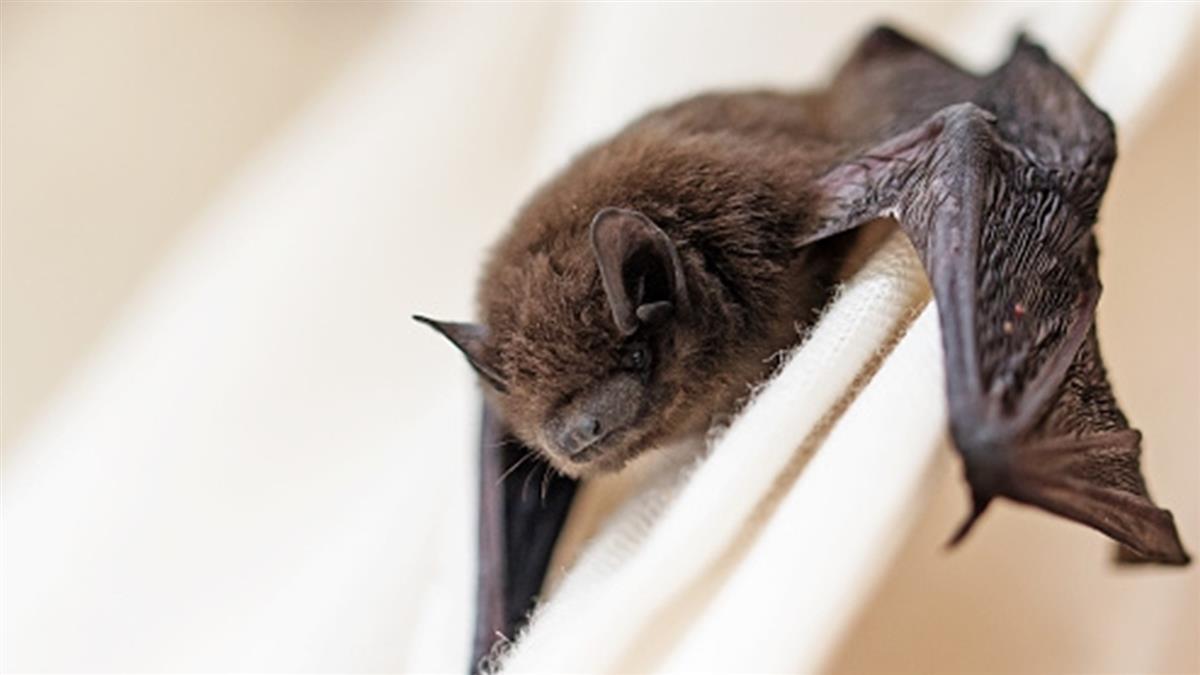 日本首見 蝙蝠糞便病毒基因近似新型冠狀病毒