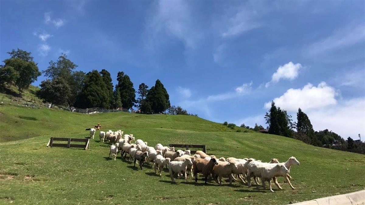 綿羊秀遭控傷害戲謔 清境農場改進不對羊開玩笑