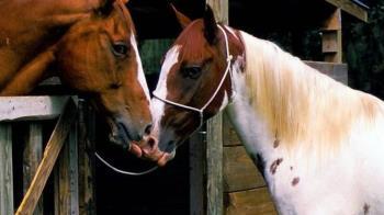 犬馬之心:馬和狗一樣對人有感情依賴?