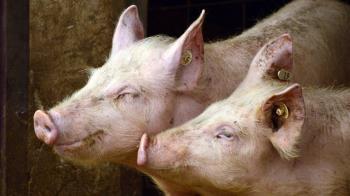 豬失控倒地瘋狂抽蓄 瘦肉精副作用20秒影片瘋傳
