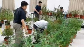 快訊/屏東毒品案!24警破門攻堅 查扣524株大麻