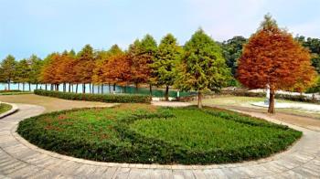 落羽松來了!南投4大夢幻秘境 唯美楓紅、金黃水杉超浪漫