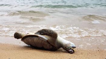 香港海龜「吞下了塑膠手套」 海洋污染中求生的瀕臨物種