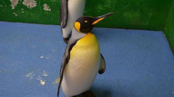國王企鵝黑麻糬  北市動物園證實已去世沒子嗣