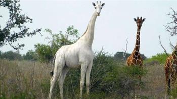 全世界唯一的「白長頸鹿」 身上裝了GPS追蹤裝置