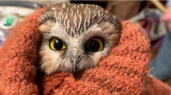 聖誕節:小型貓頭鷹意外藏身雲杉潛入紐約