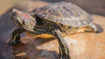 驚人!老翁釣到「插4支箭烏龜」 價值竟高達75億天價