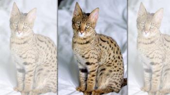 20萬買名貓居然是「稀有老虎」!夫妻衰捲國際犯罪傻了