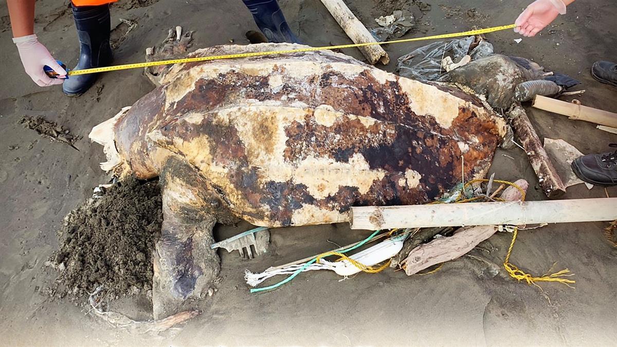 以為塑膠袋是水母!世界最大海龜慘死雲林 垃圾堆沙灘伴屍