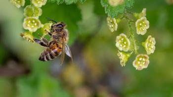 遭蜜蜂咬傷可塗尿救急 毒物專家證實:後續要盡早就醫