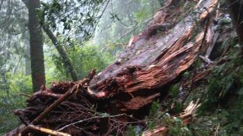 桃園山區連日降雨 拉拉山千年紅檜巨木倒地