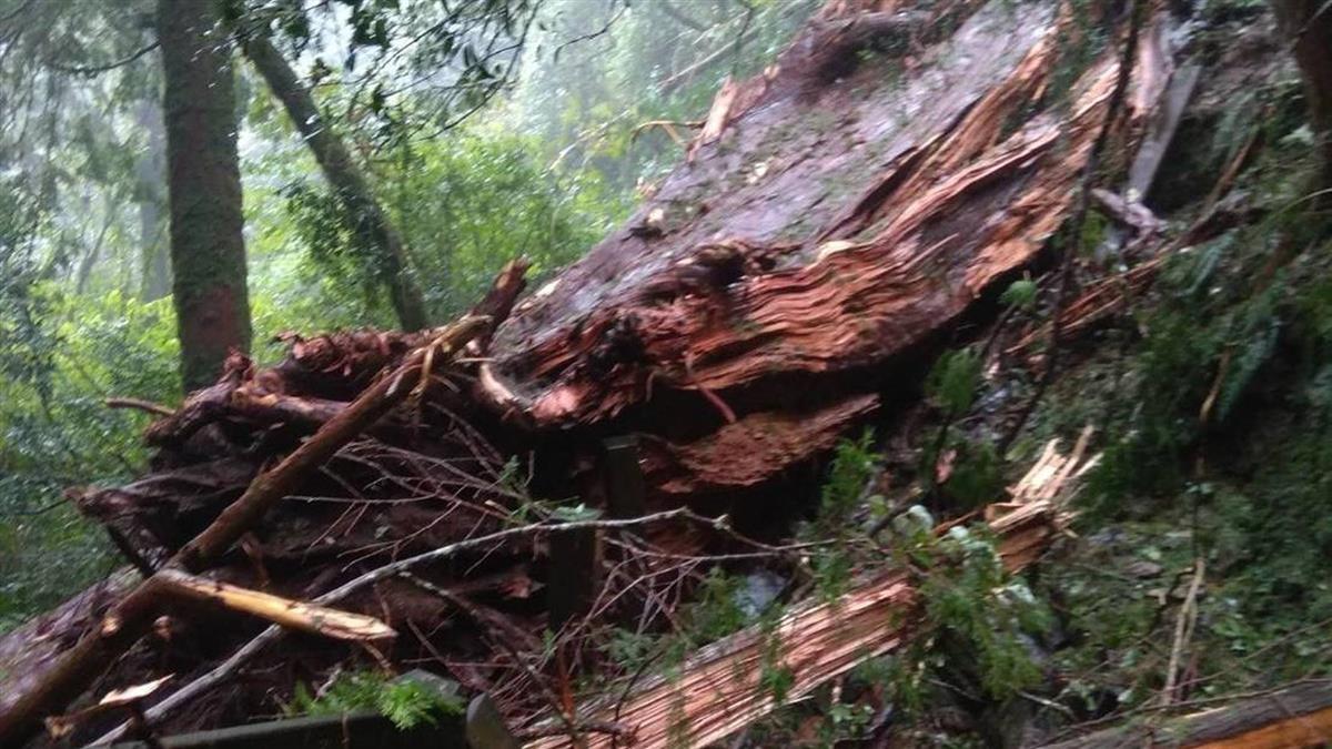 連日豪雨土石鬆動 桃園拉拉山千年紅檜倒塌