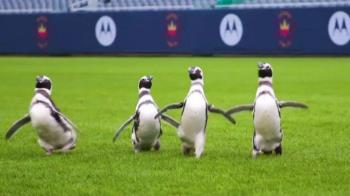 小企鵝逛足球場:動物也需要鍛煉身體