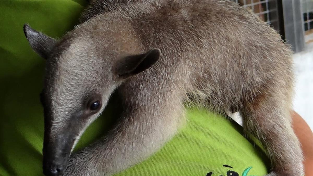 找到了!北市動物園食蟻獸失蹤3個月 被登山客發現