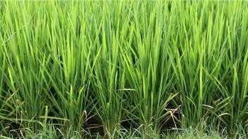 一期稻作停灌範圍是否擴大 旱災應變中心9日討論