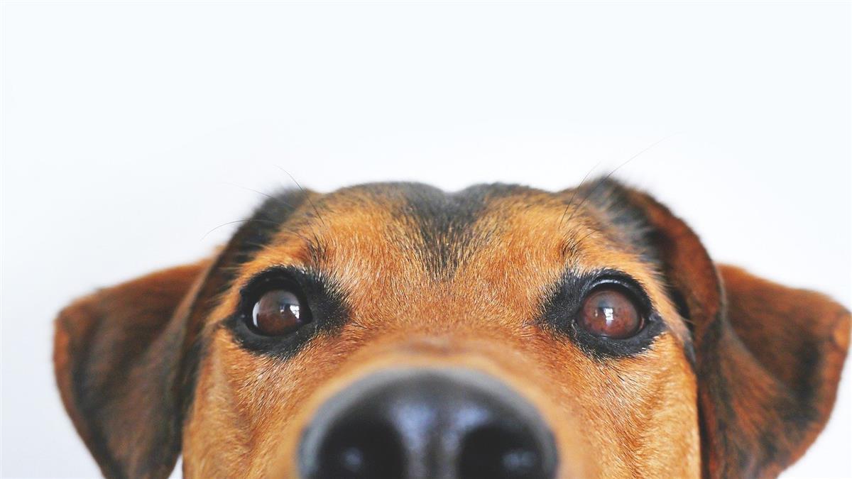 法國獸醫學校訓練出神犬 聞腋下就可檢測武肺