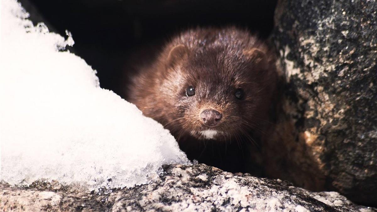 美猶他州發現水貂確診 成野生動物染疫首例