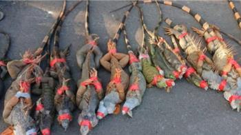 獵龍部隊出動!一下午抓40隻綠鬣蜥 封嘴綁手腳綑一排