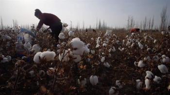 調查揭中國大陸棉花行業背後的維吾爾人強迫勞動