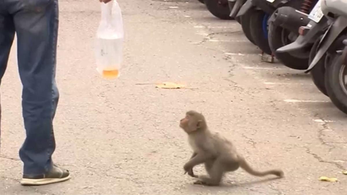獼猴逛大街 高市農業局兩個月內接獲24件通報