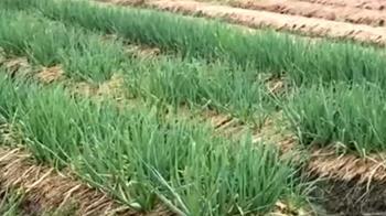 宜蘭雨下不停!三星蔥農成受災戶 擬移花蓮保種