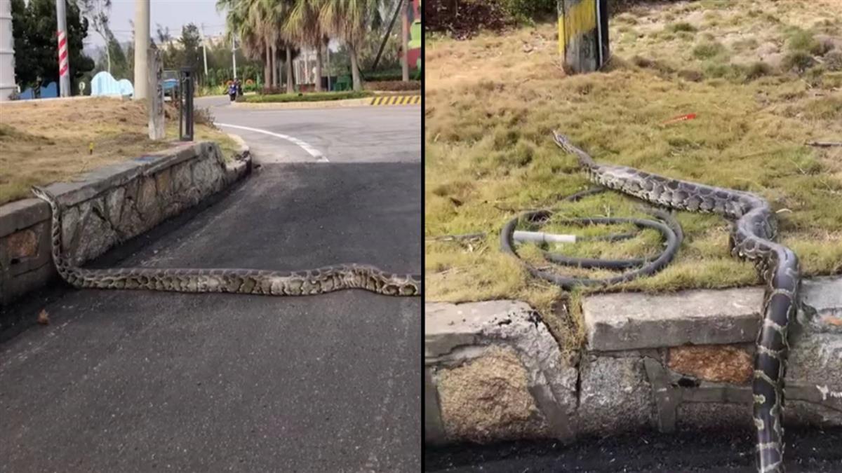 金門驚見「2米巨蟒」橫跨馬路 民眾開車經過全嚇壞