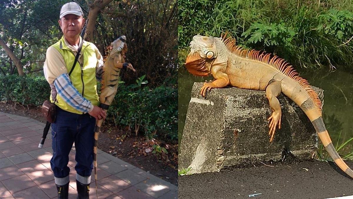 180公分綠鬣蜥抓到了!野外活8年 被捕下場曝光