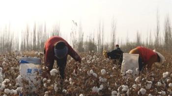 新疆採棉工:新證據揭露時尚產業背後的強迫勞動