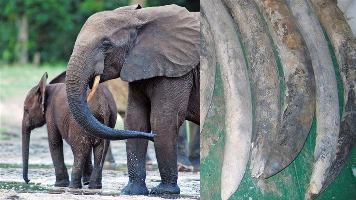 大象世界:葡萄牙沉船象牙揭示象群家族怎樣的驚人秘密