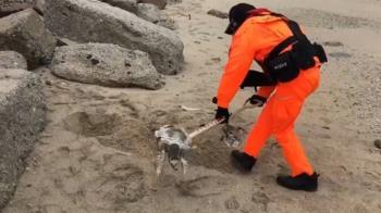澎湖近日發現3具海龜遺體 自然生態遭威脅警訊