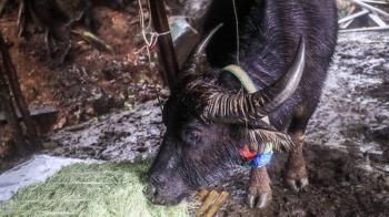 擎天崗水牛再添1死 陽管處:已新設營養補充點