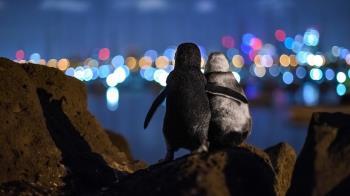 海洋攝影獎:兩隻各自喪偶的企鵝溫馨一刻