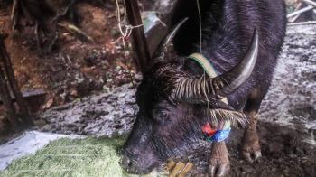 寒流下周來襲 陽管處緊急巡查虛弱水牛移地安置