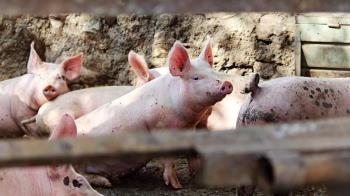 明年元旦起怕吃到萊豬? 營養師建議:留心這幾種豬肉食品