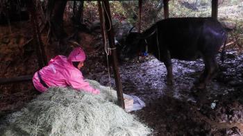 寒流來襲!陽明山2水牛「暫緩移置」陽管處:狀況不佳