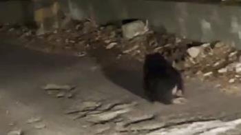 台中谷關出現疑似受傷小黑熊 居民漏夜協尋