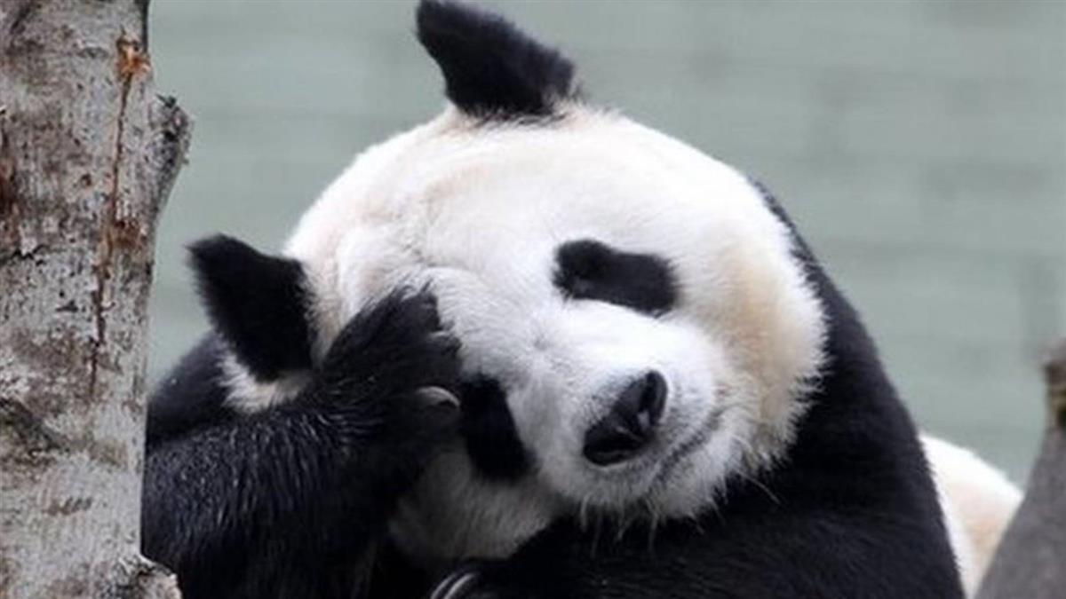 中國大陸大熊貓:愛丁堡動物園沒錢了 熊貓陽光和甜甜明年或被迫回國