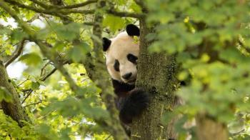 愛丁堡動物園年燒3800萬吃不消 大貓熊恐被迫「回歸中國大陸」