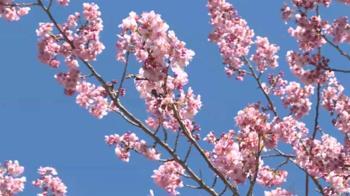 玩雪賞櫻花!太平山、武陵一房難求 春節都已難訂
