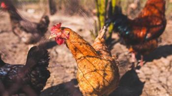 印度禽流感持續蔓延 4省爆發疫情