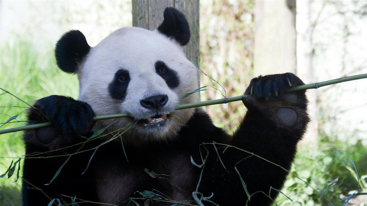 疫情期缺錢養不起!英動物園考慮提前送熊貓回中國
