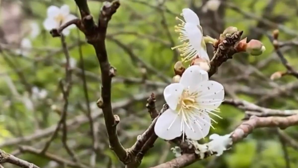 台東鸞山梅花花期大亂 部分梅樹結出果子