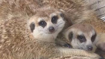 超冷!壽山動物園狐獴「抱團」取暖 遊客直呼可愛